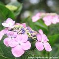 IMG_7969第二紫陽花苑・紫陽花