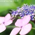 IMG_7973第二紫陽花苑・紫陽花