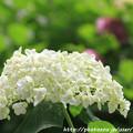 IMG_7982第二紫陽花苑・紫陽花