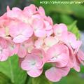 IMG_8008第一紫陽花苑・紫陽花
