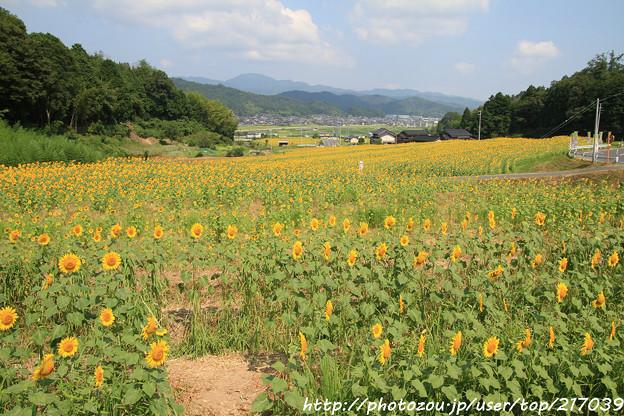 IMG_8479与謝野町ひまわりフェスティバル・向日葵