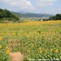 Photos: IMG_8479与謝野町ひまわりフェスティバル・向日葵