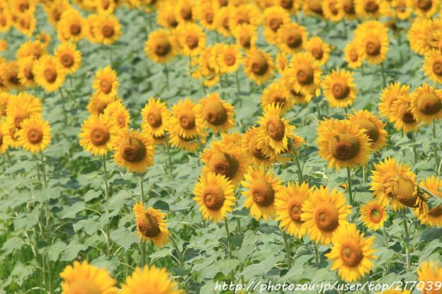 IMG_8500与謝野町ひまわりフェスティバル・向日葵