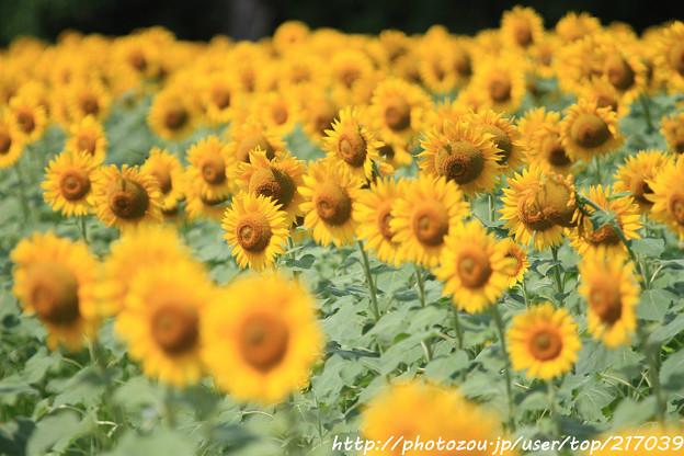 IMG_8504与謝野町ひまわりフェスティバル・向日葵