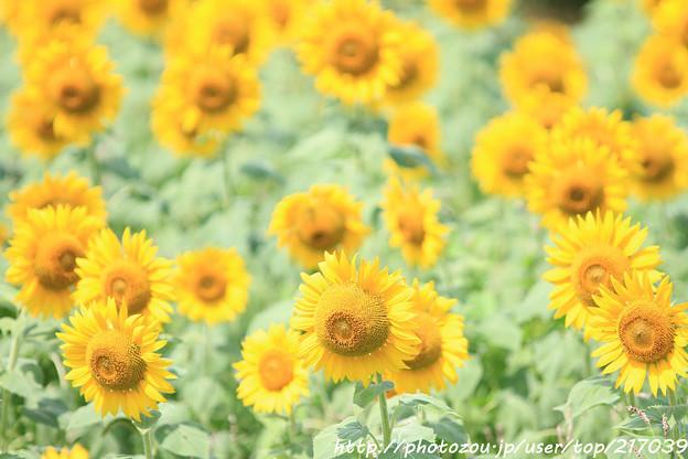 IMG_8520与謝野町ひまわりフェスティバル・向日葵