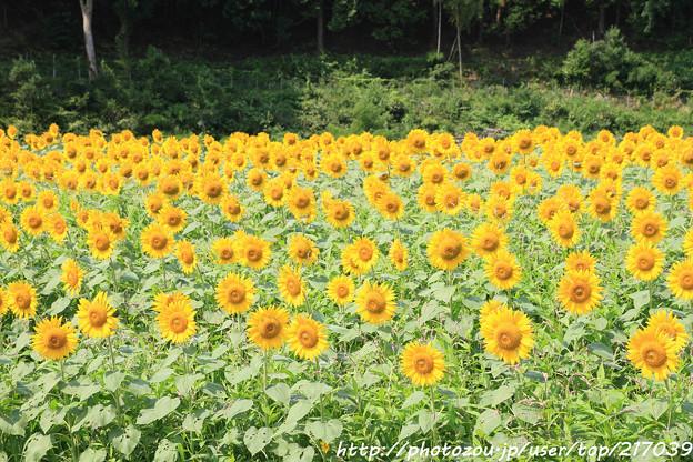 IMG_8526与謝野町ひまわりフェスティバル・向日葵
