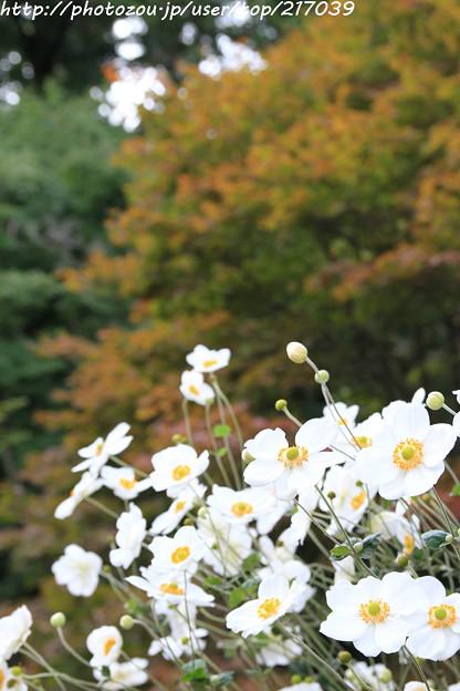 IMG_8997善峯寺・秋明菊と紅葉