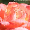 Photos: IMG_9588ばら庭園・フロージン'82