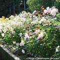 Photos: IMG_9600ばら庭園・薔薇