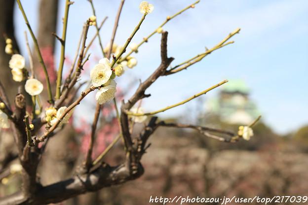 IMG_1877大阪城公園・梅林・小緑萼と大阪城天守閣
