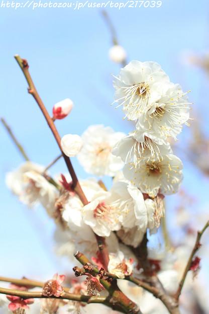 写真: IMG_1906大阪城公園・梅林・八重野梅
