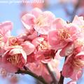 写真: IMG_1916大阪城公園・梅林・道知辺