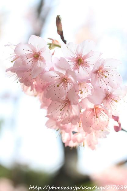 IMG_2582百万遍知恩寺・富士桜