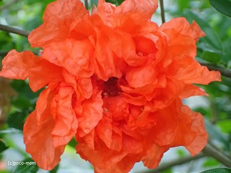 オリンパス GT-4 でザクロの花を撮る P605027111