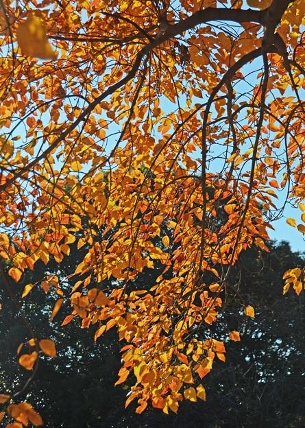 花の木の紅葉4