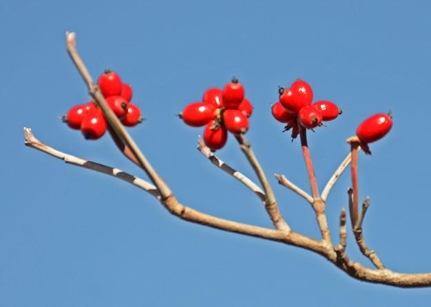 秋照に映える赤い実1