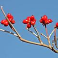 写真: 秋照に映える赤い実1