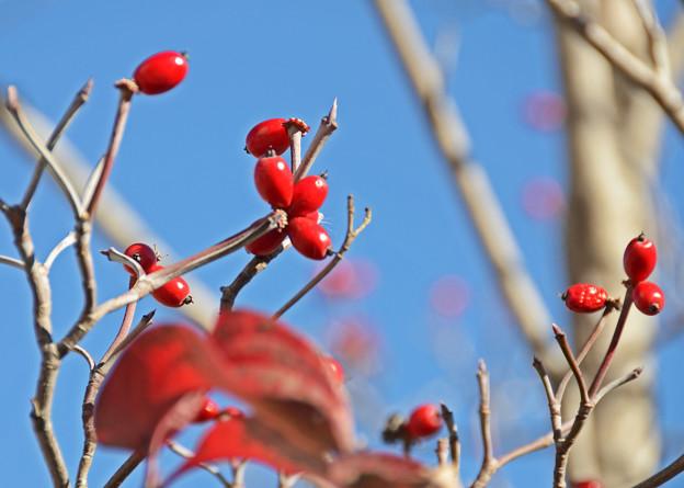 秋照に映える赤い実2