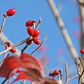 写真: 秋照に映える赤い実2