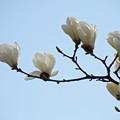 木蓮連咲2