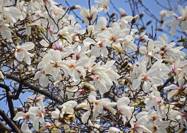 写真: 春を告げ咲き誇る