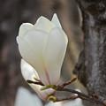 写真: 木蓮花