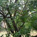 写真: この木が風で折れないかが心配(;´д`)風で枝が一部、柳みたいに垂れ下...