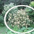 写真: 折れた栗の木