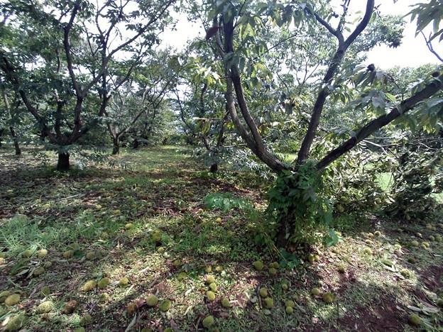写真: 栗畑