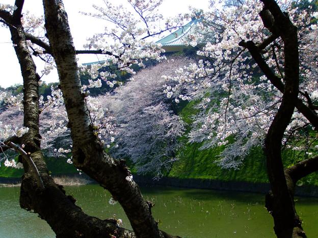SakuraSakuraSakura16