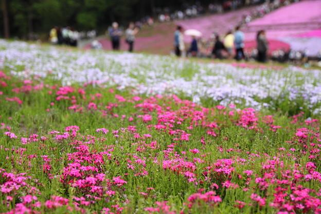 Photos: 芝桜