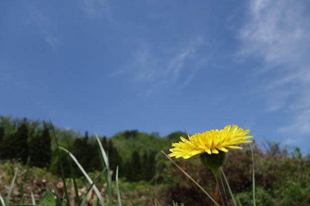タンポポ(在来種)