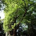 写真: なんじゃもんじゃの木