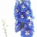 写真: 青い花柱