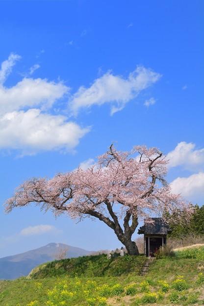 Photos: 初恋ノ桜