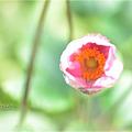 写真: 菊姫さま・・・。