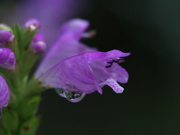 シズクの中の花
