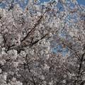 写真: 桜一色