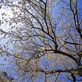 見上げる空と枝垂れ梅