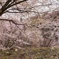 Photos: 桜の広場