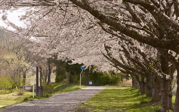 桜舞う遊歩道