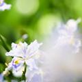 木漏れ日に咲くシャガ