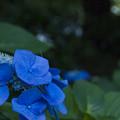 夜の紫陽花
