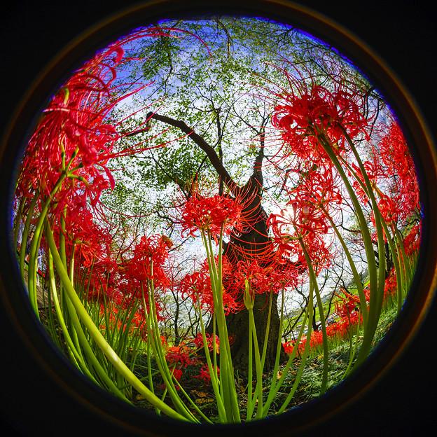 彼岸花と桜