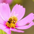 写真: コスモスとミツバチ
