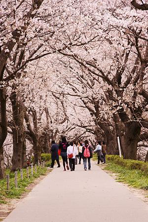 桜色のトンネル