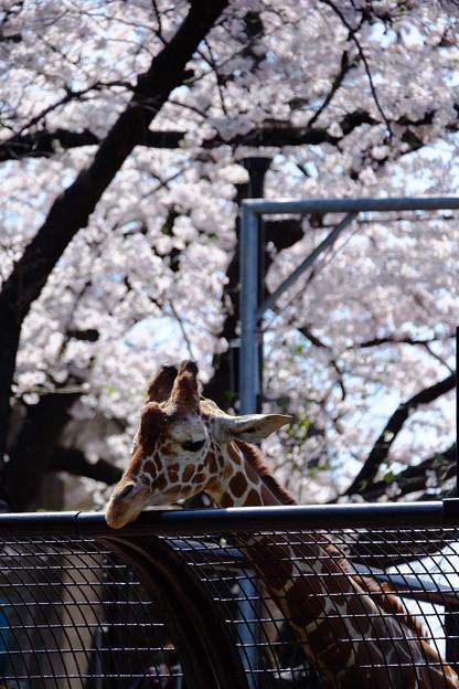 写真: 桜にうっとり♪