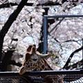 桜にうっとり♪