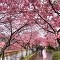 河津桜 かわづいでゆ橋下流の「桜トンネル」
