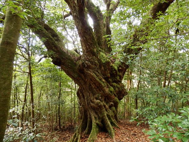推定樹齢500年の巨大アカガシ